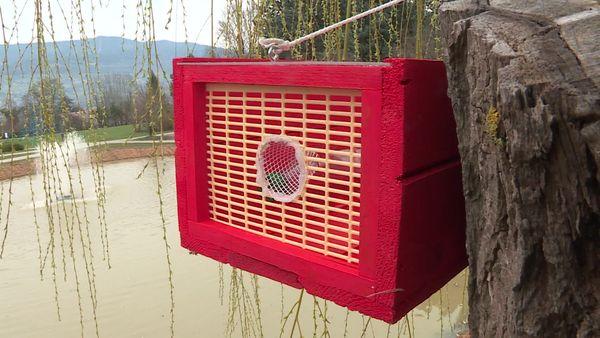 Dans le parc, les pièges sont installés en hauteur et surveillés très régulièrement, afin de relâcher le plus vite possible d'autres insectes non ciblés