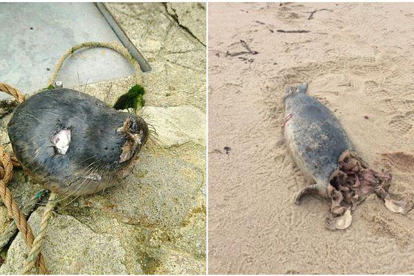 Des phoques décapités à Concarneau