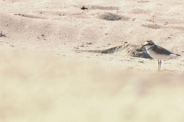 Un gravelot à collier interrompu sur la plage de Loctudy (29)
