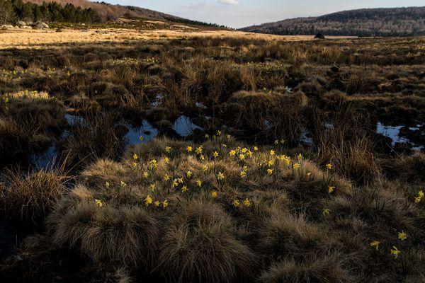 Les tourbières du Mont Lozère, essentiels pour l'écosystème terrestre