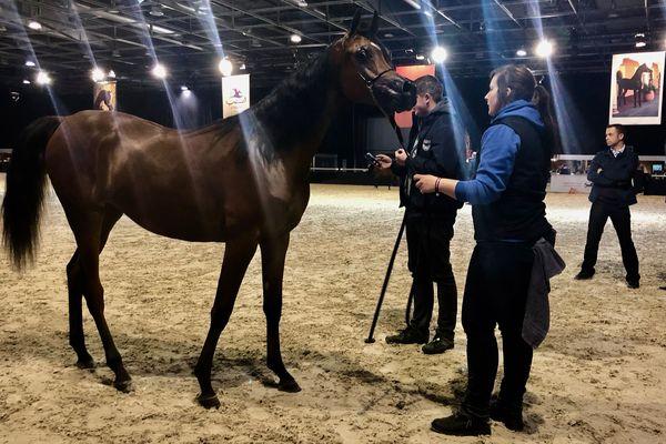 Les plus beaux chevaux sont au championnat du Monde du cheval arabe.