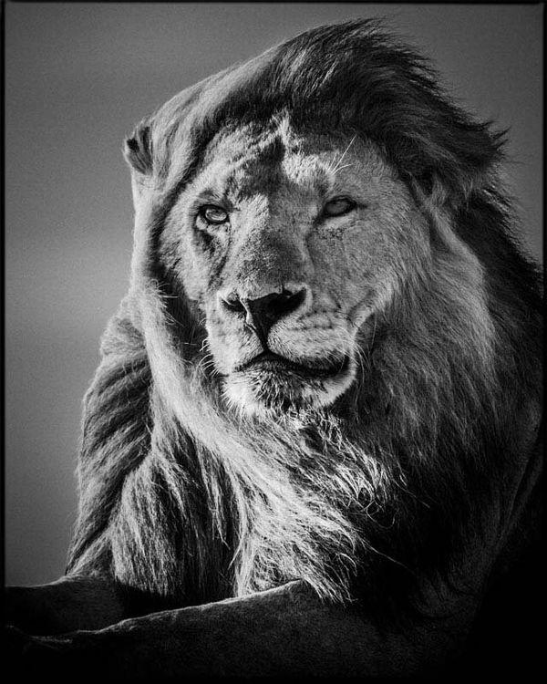 Ce lion, photographié par Laurent Baheux en 2007 en Tanzanie est l'un des clichés exposés à Moncoutant.