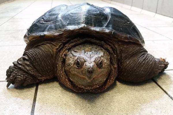 La tortue serpentine retrouvée dans un fossé prend la pose à la clinique vétérinaire d'Objat en Corrèze