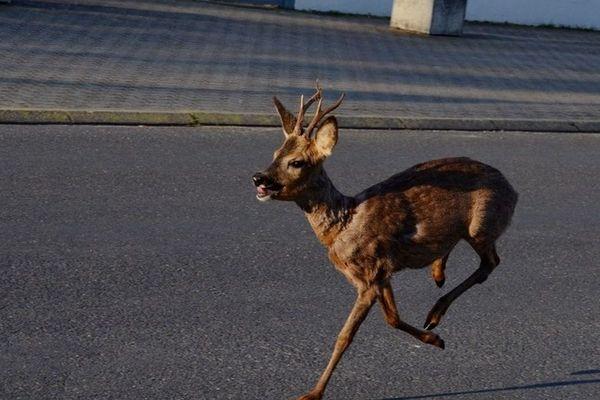 Mardi 7 avril, une photographe a pris ce cliché de chevreuil errant dans les rues d'Yzeure dans l'Allier.