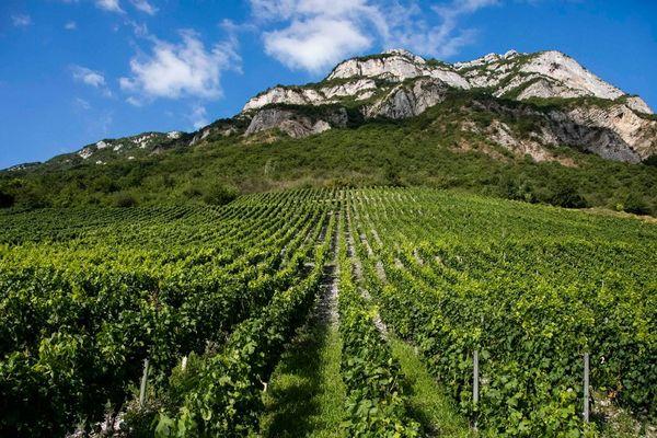 Image d illustration du vignoble savoyard avant le début des vendanges à Chignin en Savoie.