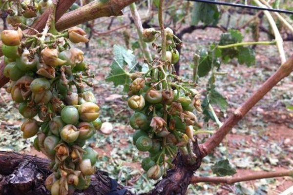 Saint-Paulet-de-Caisson (Gard) - les vignes ont souffert du vent, de l'orage et de la grèle - 20 juillet 2014.