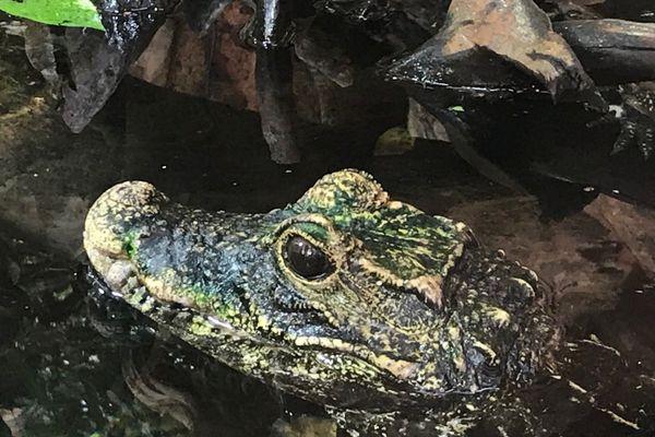 Il s'agit d'une espèce de crocodile nain, originaire de l'Afrique de l'Ouest. Mais les spécimens en questions sont nés à Royan il y a 5 ans.
