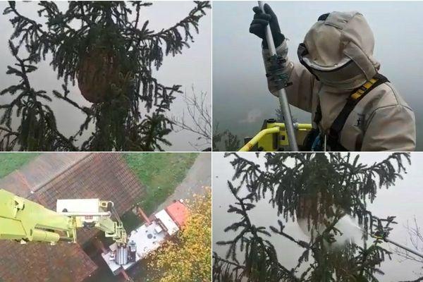 Le nid de frelons asiatiques était perché à 30 mètres de hauteur.