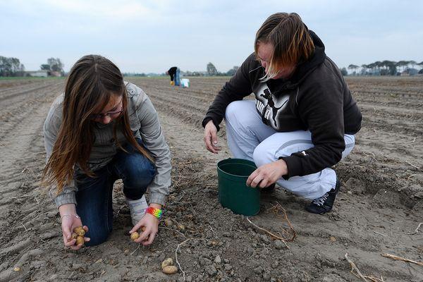 La glanage de pommes de terre existe depuis de nombreuses années à Grande-Synthe.