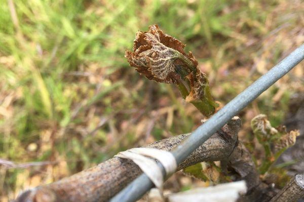 Les bourgeons ont pu se fragiliser pendant le dernier épisode de gel.