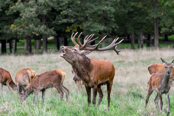 La période du brame signe le début du rut chez les cerfs.