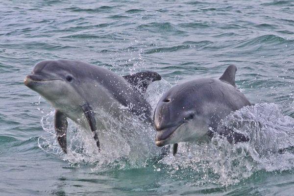 Les dauphins observés par Fabrice lors de sa balade en baie de Saint-Brieuc