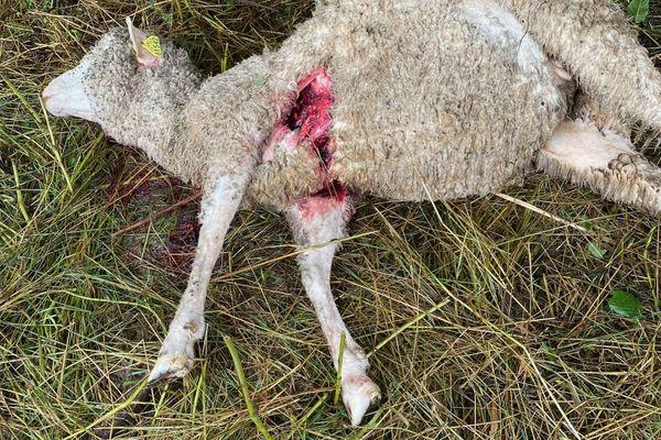 Six brebis ont été tuées par les loups dans la nuit de samedi à dimanche, à Cholonge en Isère.
