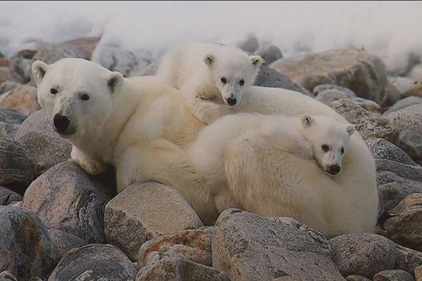 Ces ours photographiés par Philippe Bolle sont morts à cause de la fonte des glaces.