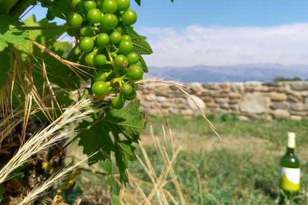 Sainte-Léocadie : Implantée depuis 1984, sur un sol granitique, cette vigne comporte 450 souches situées à 1.300 m d'altitude.