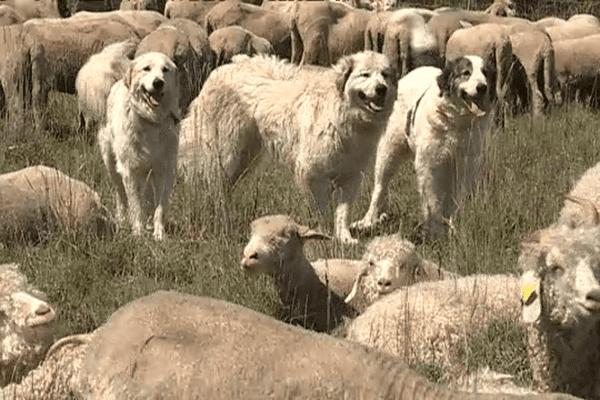 """Les patous protègent leur troupeau de tout """"intrus"""", loup ou humain."""
