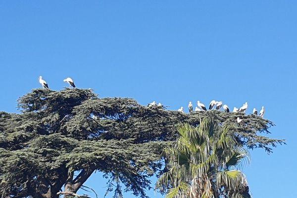Avez-vous vu des cigognes dans l'Hérault ces derniers jours ?