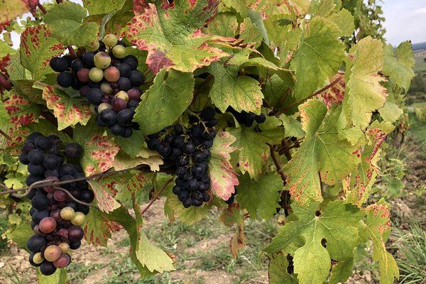 Les vignerons peuvent officiellement vendanger depuis le 25 septembre, mais la plupart attendent encore un peu, pour profiter des derniers rayons de soleil.
