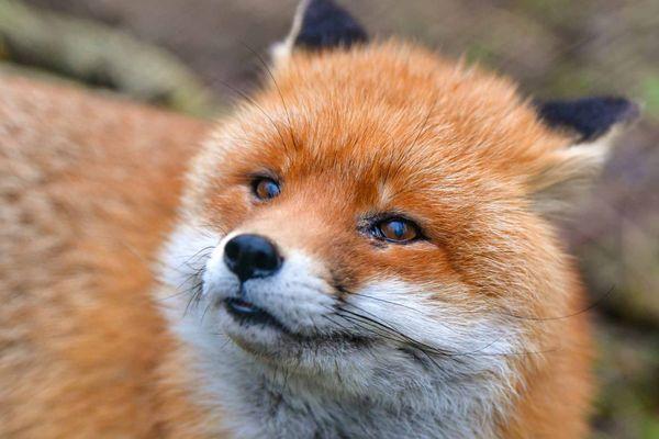 Le renard roux européen
