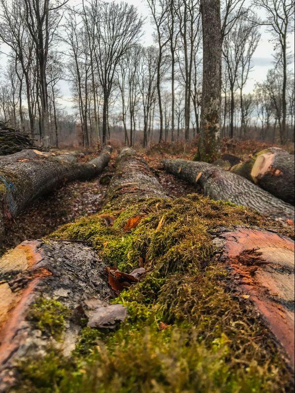 La forêt de Darney dans les Vosges est composée majoritairement de chênes, dont les plus anciens ont plus de 400 ans.