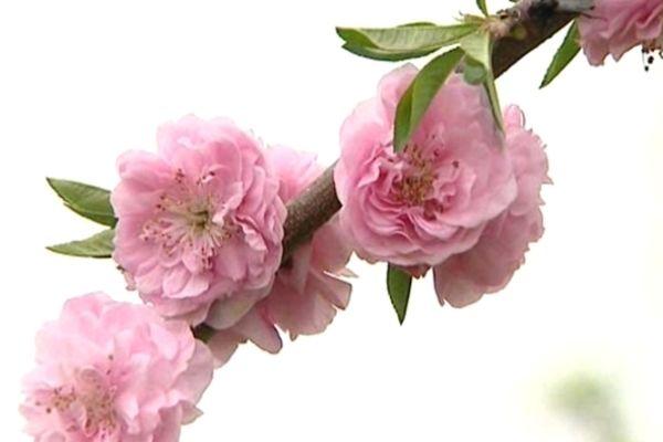 Cette année tout fleurit en même temps, alors que normalement, il y a un échelonnement de la floraison.