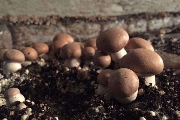 """Des  champignons de Paris appelés """"champignons de Dijon"""", car ils sont cultivés sur un substrat composé notamment de calcaire issu de la carrière de Plombières-les-Dijon."""
