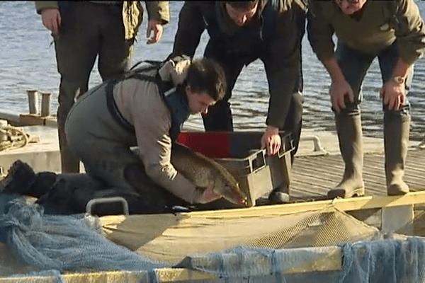 La sortie d'un poisson du lac des Guerlédan