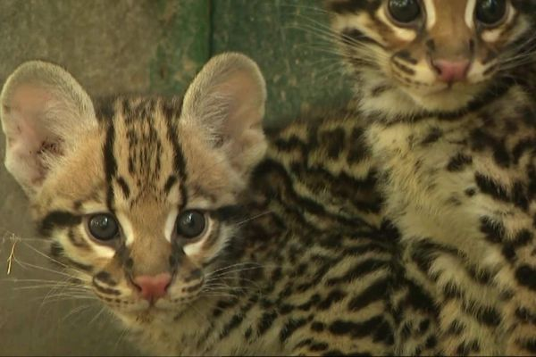 Deux bébé ocelots sont nés à Fitilieu dans le parc zoologique du Domaine des Fauves le 6 juillet dernier