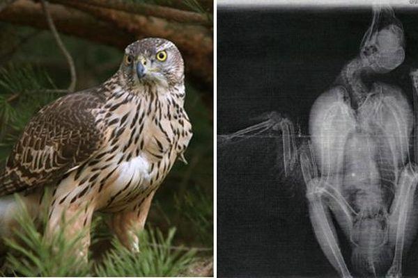 L'Autour des palombes et la radiographie de l'oiseau blessé avec le tir visible
