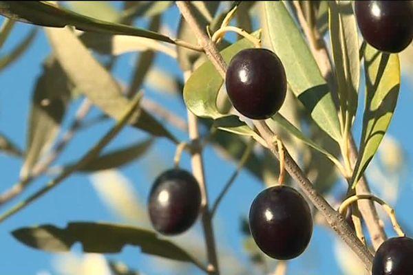 La récolte des olives dans le sud Ardèche