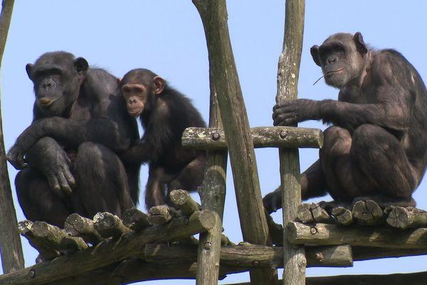 Les primates peuvent-ils contracter le virus ? Les scientifiques n'ont pas encore exclu cette hypothèse