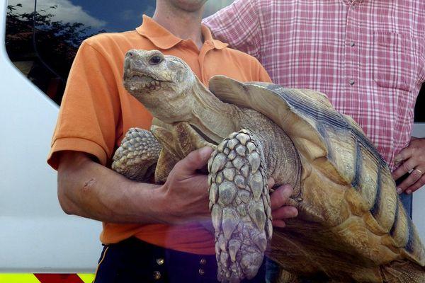 Cette tortue sillonnée pèse 17,5 kilos