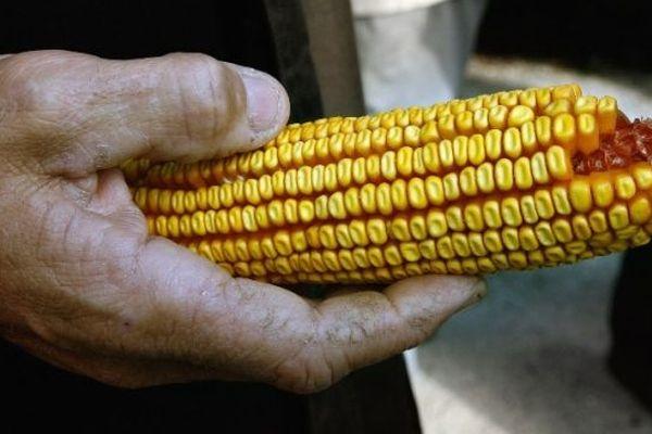 Un épi de maïs OGM (Archives)