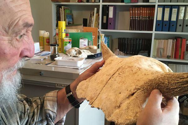 Louis Chaix est un archéologue heureux ! Entre ses mains, le crâne d'un bison préhistorique...