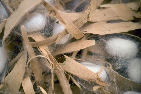 Cocon du bombyx du mûrier.