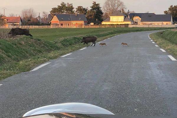Les sangliers ont traversé la route à quelques mètres seulement de la voiture.