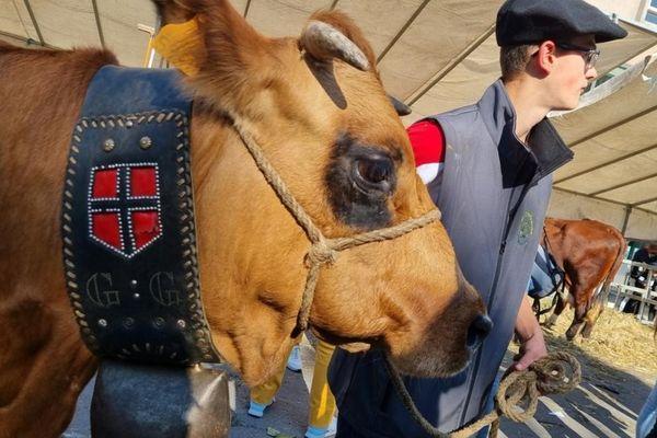 Les vaches à l'honneur de la descente des Alpages, ce samedi 9 octobre à Grenoble.