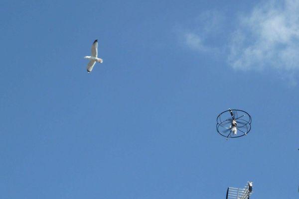 Un goéland face à un drone (la photo sert uniquement d'illustration : il ne s'agit pas d'une scène d'attaque mais, bien au contraire, d'une opération menée en 2015 en Normandie pour stériliser les nids des oiseaux grâce aux engins).