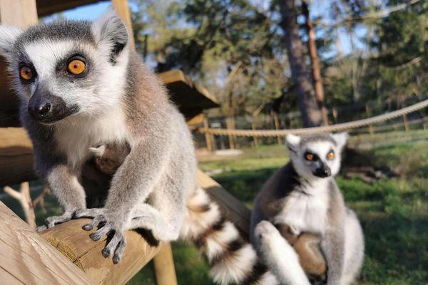 Un couple de lémuriens, du Jardin aux oiseaux d'Upie dans la Drôme