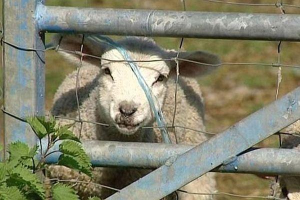 Le domaine des Douages, situé à Chantenay Saint-Imbert dans la Nièvre, recueille des moutons destinés à l'abattoir.