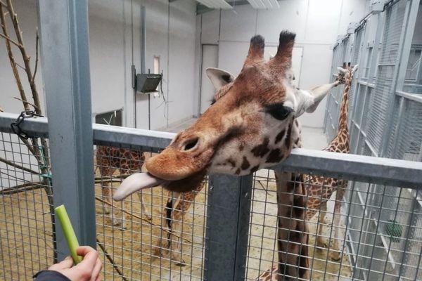 Une nouvelle girafe est arrivée mercredi 24 février dans le parc animalier du PAL, situé dans l'Allier. Ce bébé mâle de 15 mois est arrivé tout droit du Danemark. Il espère le faire reproduire d'ici quelques années.