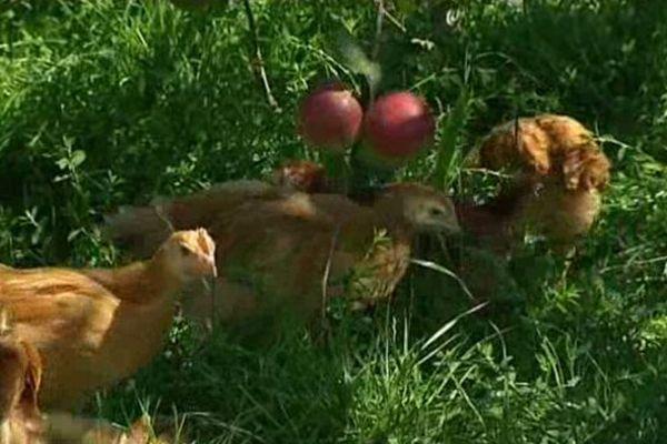 Laisser les volailles en liberté sous les pommiers présente un double intérêt : les poulets permettent de déparasiter les arbres mais également d'enrichir la terre de leurs fientes.