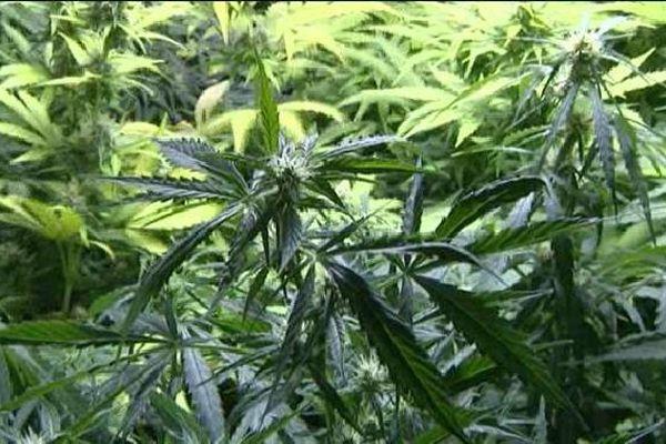 59 pieds de cannabis saisis au Dorat (image d'illustration)