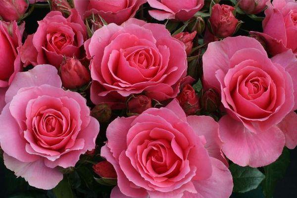 """La rose """"Ville de Saumur"""", grand prix SNHF toutes catégorie."""