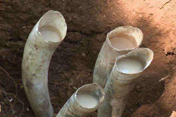 Les cornes vont être enterrées pendant six mois sous 40 centimètres de terre - mai 2020