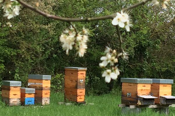 Les ruches produisant le miel labellisé dans le Marais Poitevin.