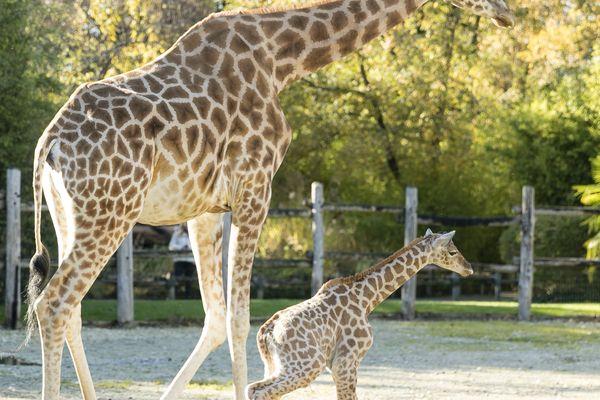Malaï, girafon né au zoo de La Flèche
