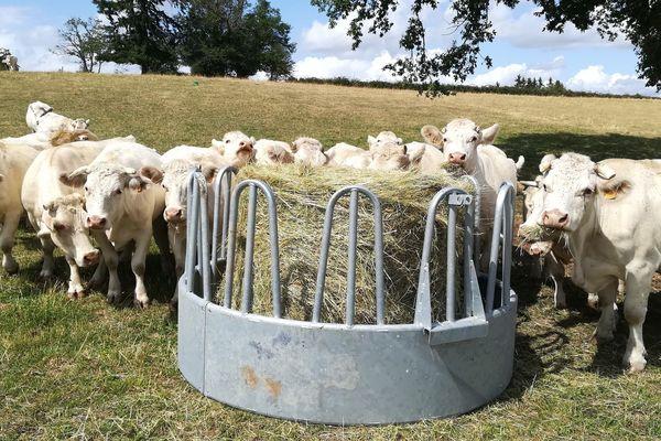 L'herbe n'ayant pas poussé, il faut donner du fourrage aux troupeaux.