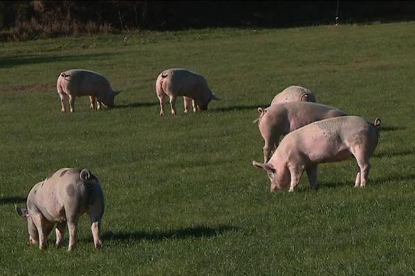 Ces cochons naissent et grandissent sur la ferme de Justine et Samuel, au sud-ouest de Toulouse.
