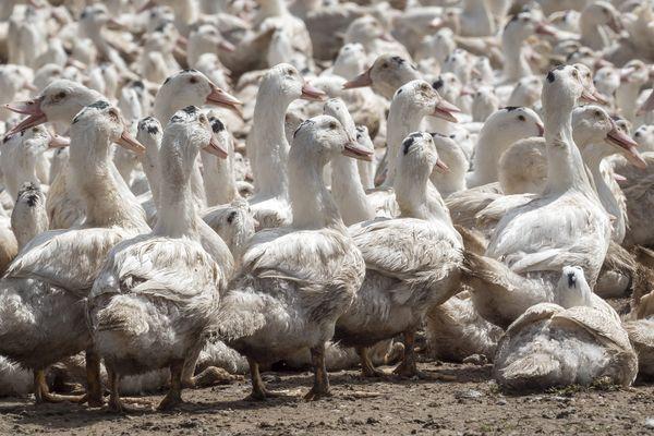 Au total, 7 450 canards ont été abattus. Photo d'illustration.